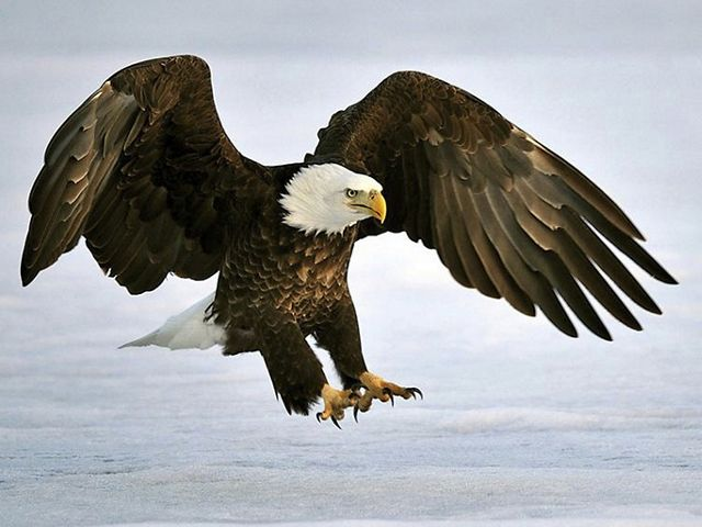 A bald eagle lands on ice with its wings outspread.