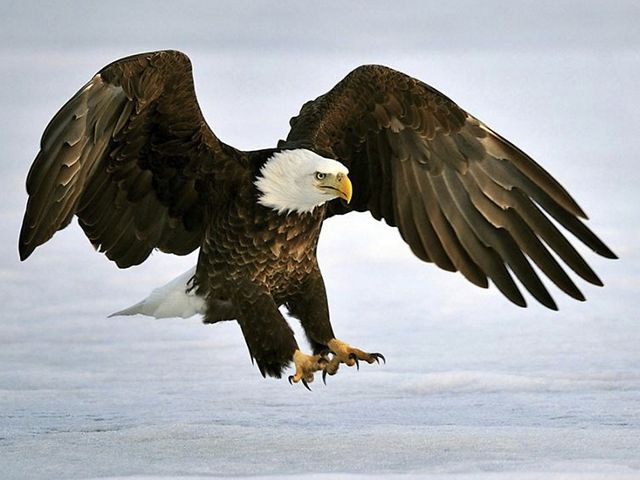 Large bald eagle swoops down in winter.