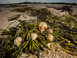 Six horseshoe crabs sit on top of a pile of green seaweed that has washed up onto a sandy Delaware Bay beach.