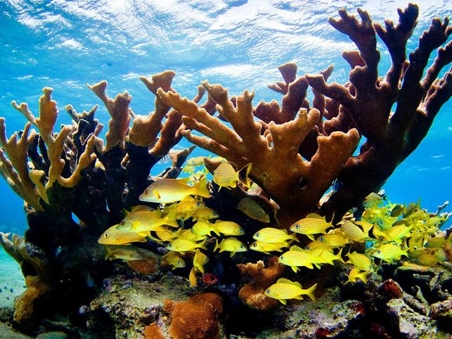 Reef fish swim through healthy elkhorn corals in Jardines de la Reina, an important protected area in Cuba.
