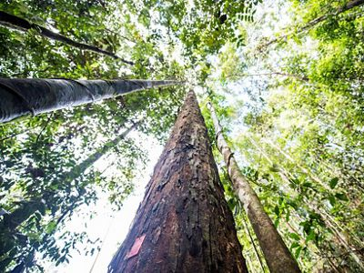 The Nature Conservancy works with logging companies in Indonesian Borneo to help the forest provide resources for people while protecting important habitat for orangutans.