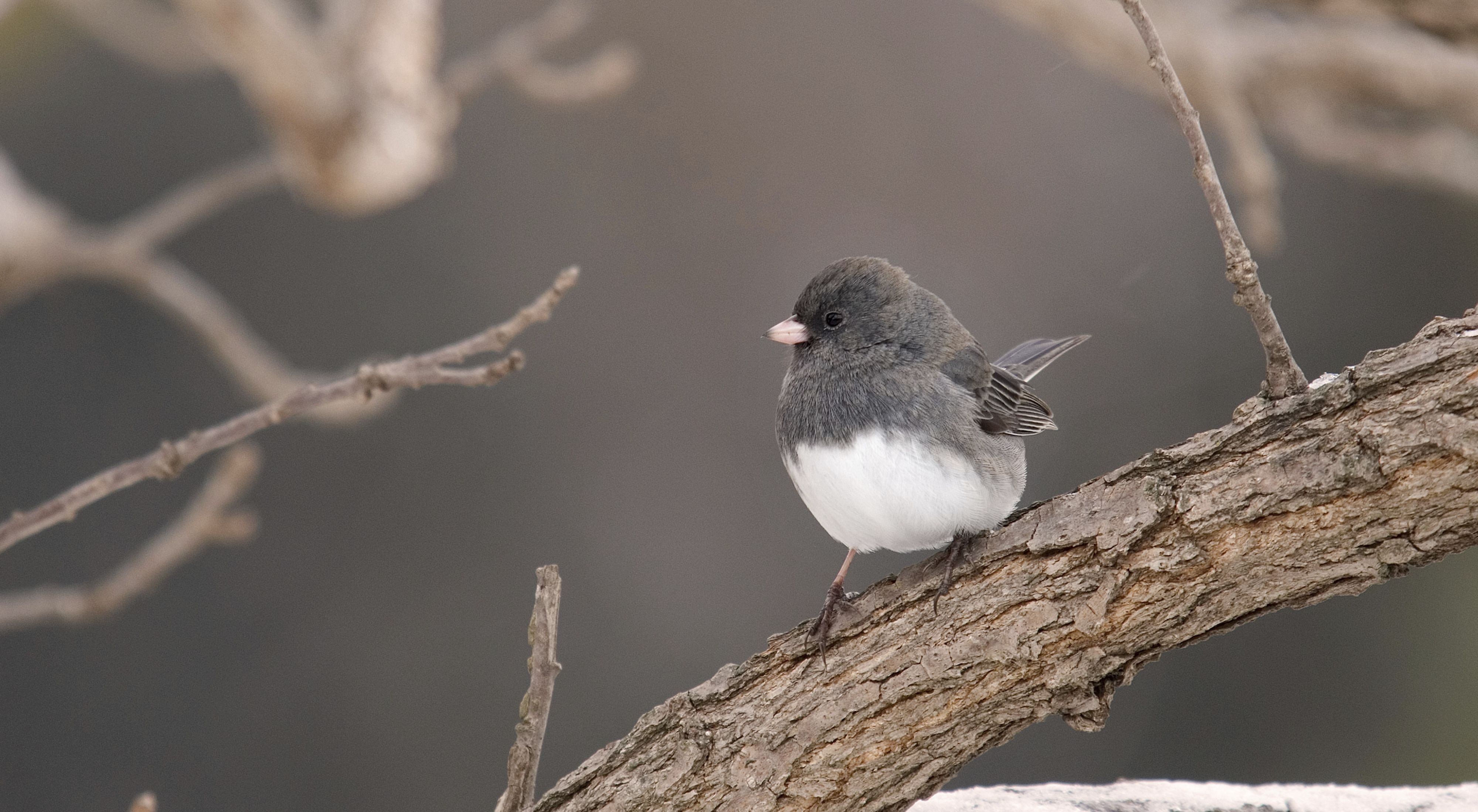 A small gray songbird with a white breast sits on a bare snow dusted tree limb.