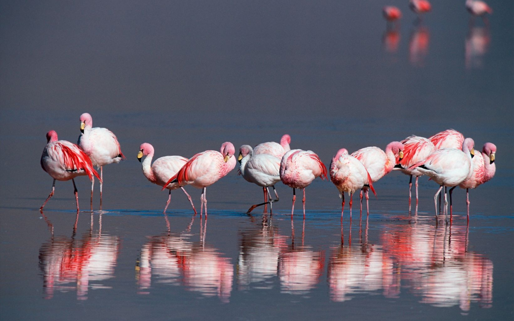 Flamingos on the saltwater lagoons of the Eduardo Avaroa Andean Fauna National Reserve in the high Andes Mountains of the Chilean and Argentine border in southwestern Bolivia.