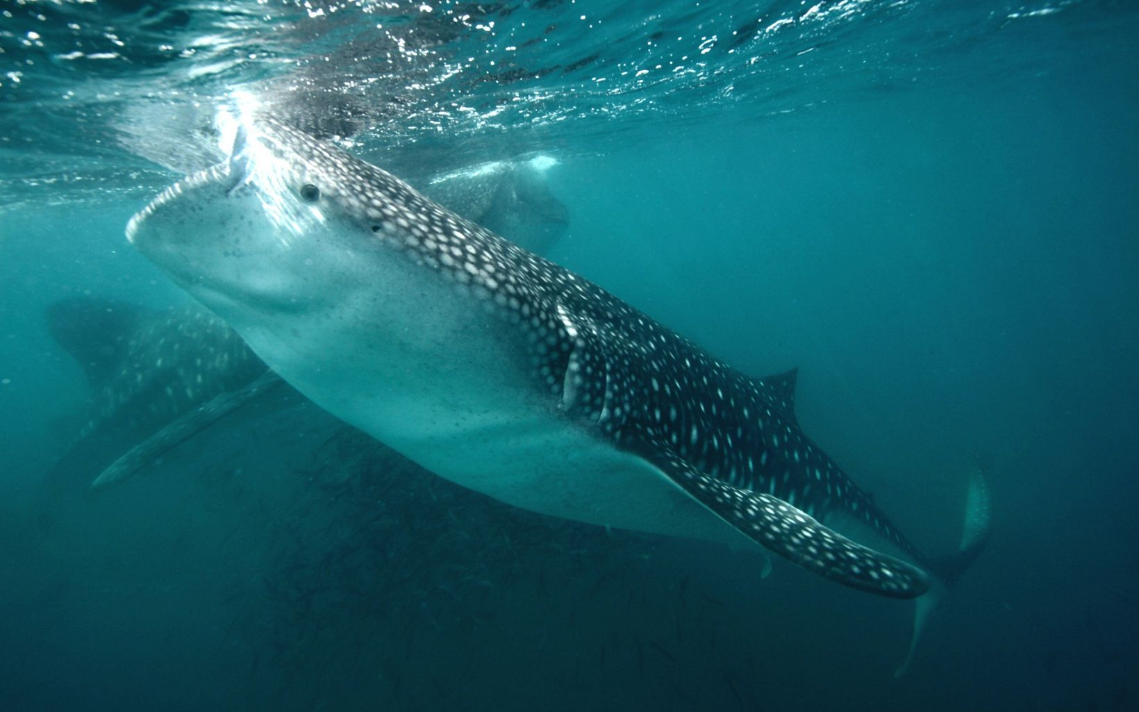A pair of juvenile whale sharks measuring nearly 20 feet in length feed in the productive waters off La Paz in Mexico's Baja California.