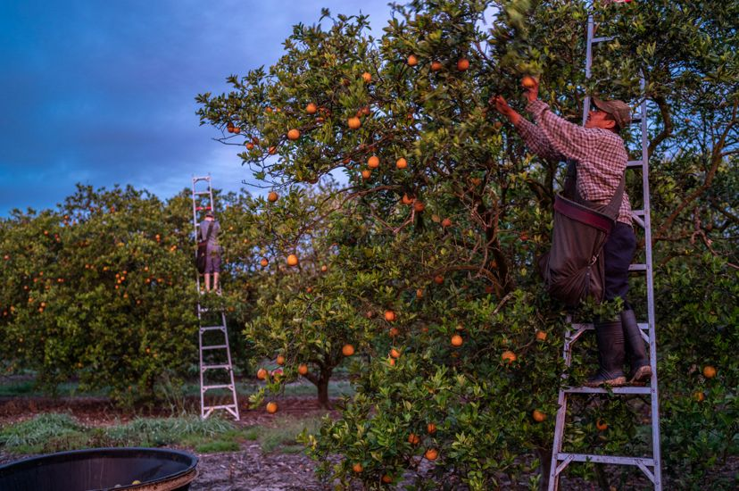 men on ladders with satchels pick oranges from an orange grove in florida