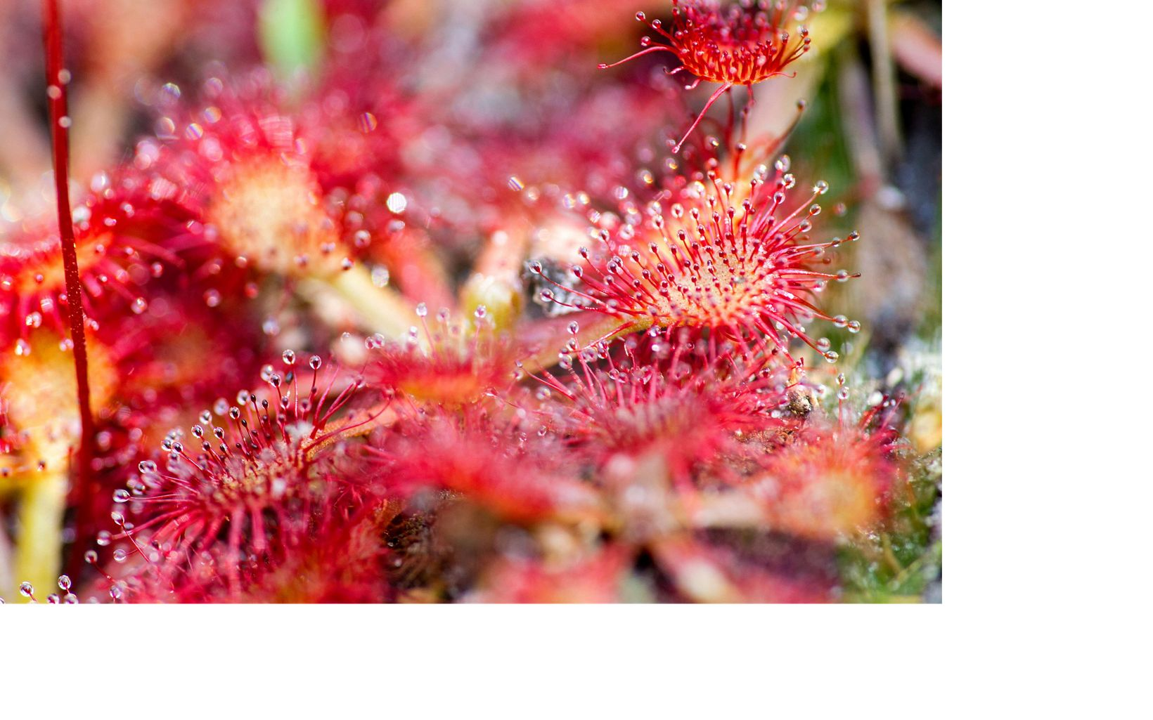 Sundews, which measure no more than 1 inch across, capture insects on their gooey tentacles, Shaken Creek, North Carolina.