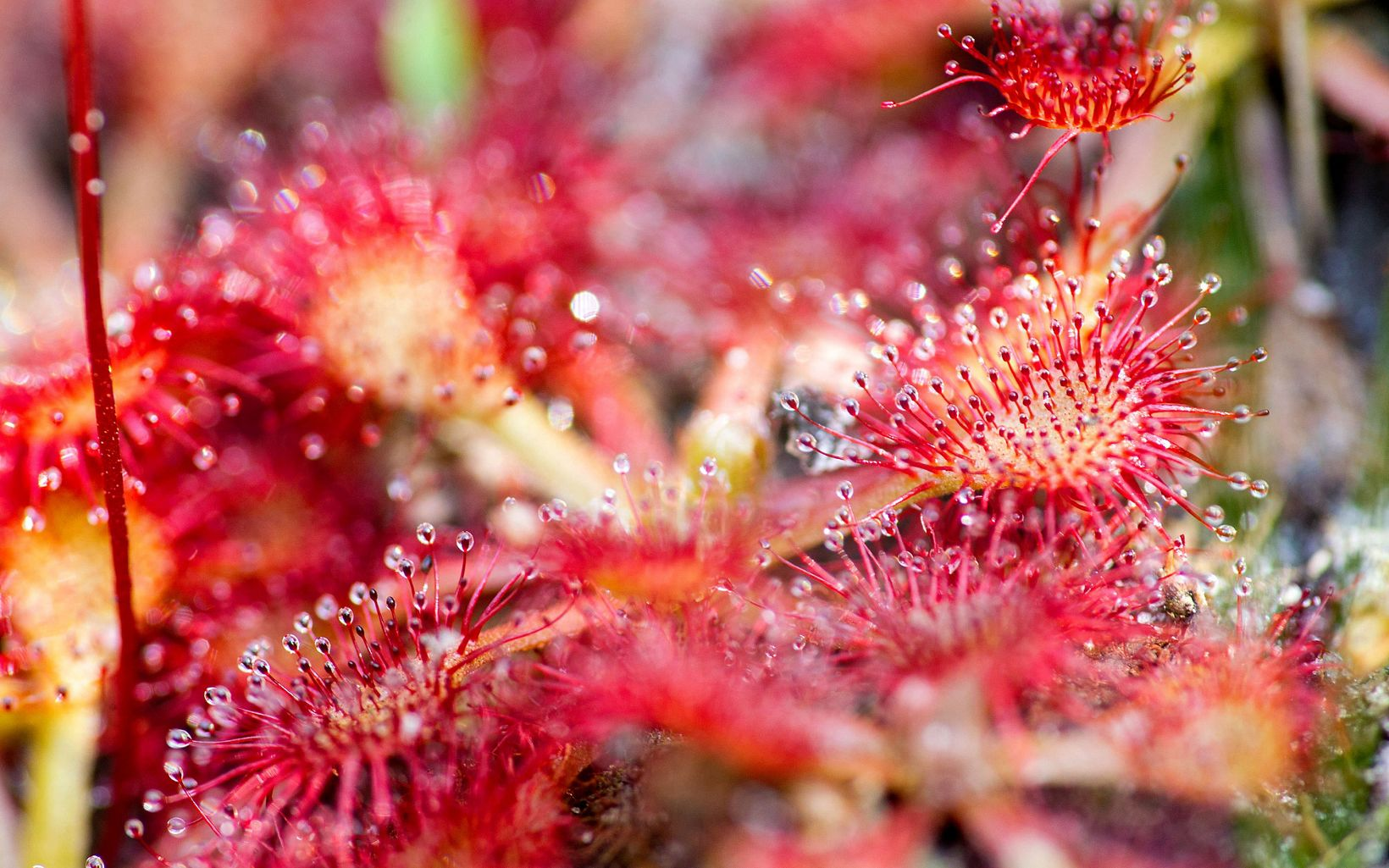 Closeup of sundews with club-shaped light green stems covered in tiny sticky red hairs.