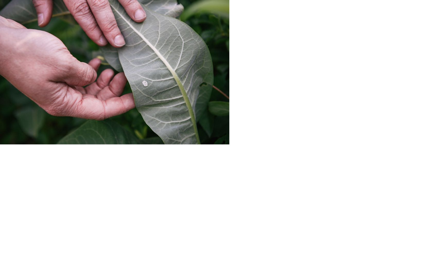 hands touching a large green leaf with a white spot on it