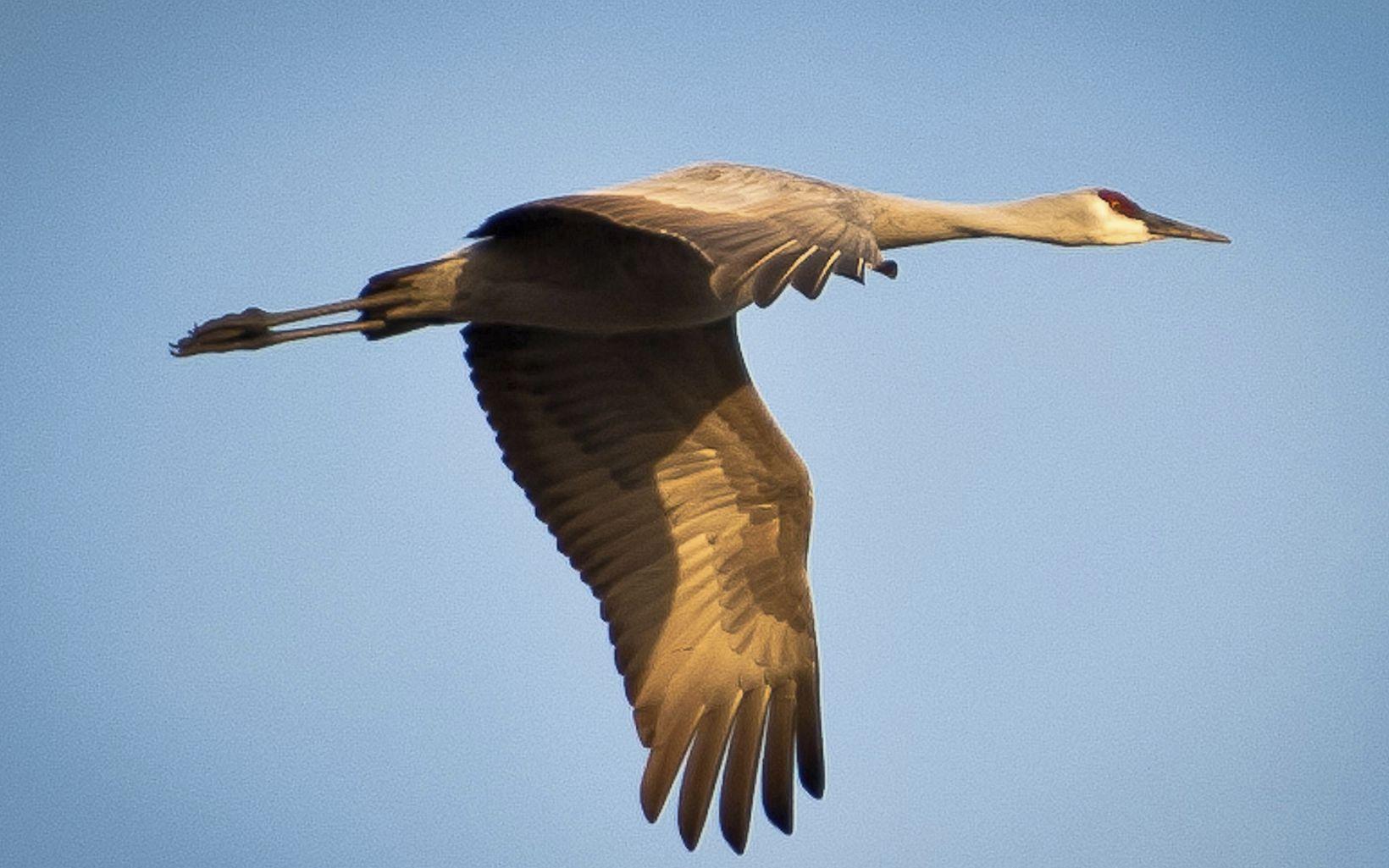 A solo sandhill crane flies across a blue sky.