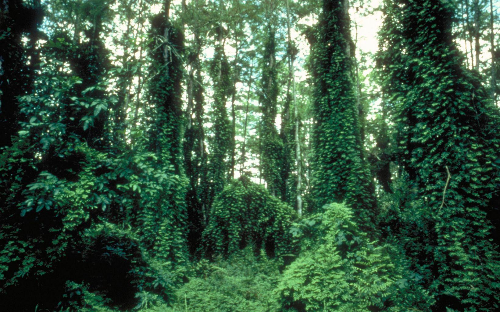 A forest with trees covered thickly with lygodium ferns smothering their branches.