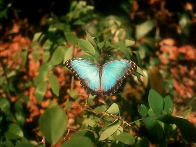 A blue morpho butterfly lights on rainforest vegetation in the Calakmul Biosphere Reserve, Mexico.