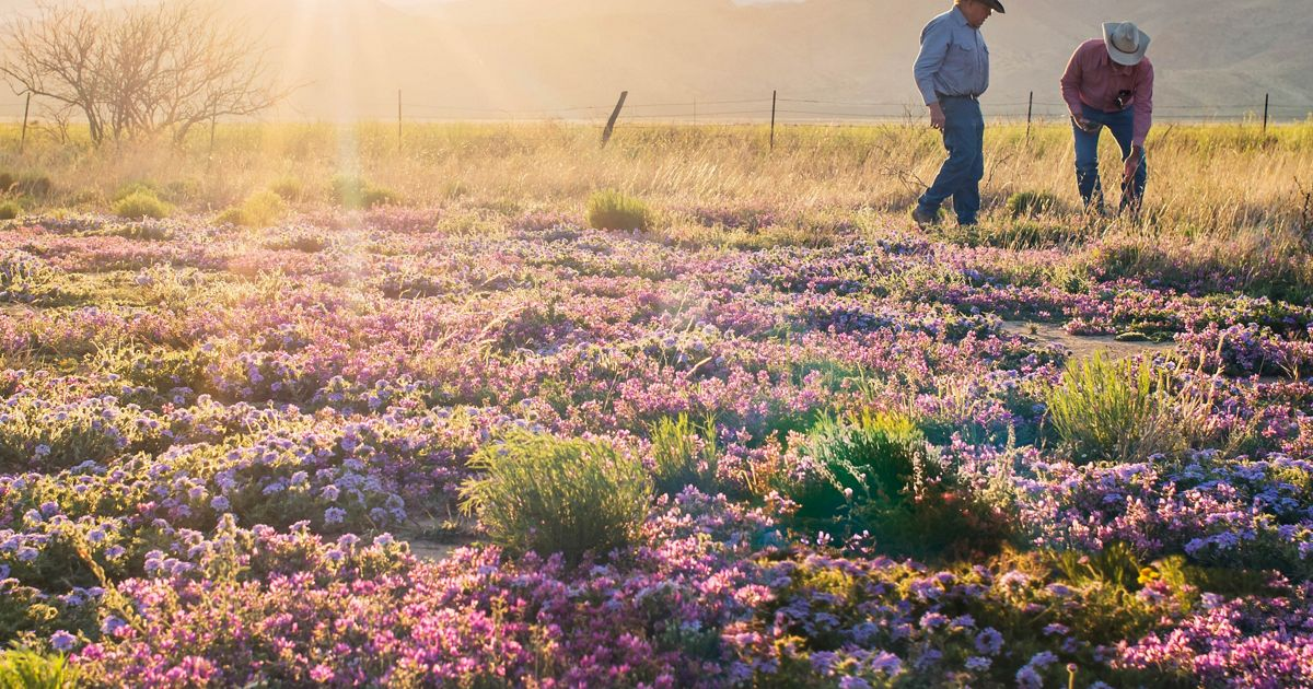 A rancher and a conservation specialist examine purple wildflowers