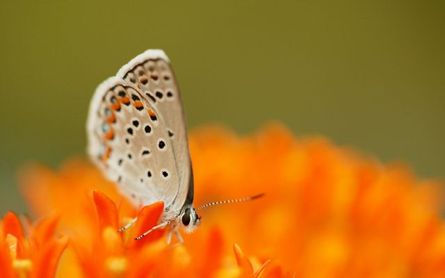 A karner blue butterfly on a large, bright flower.