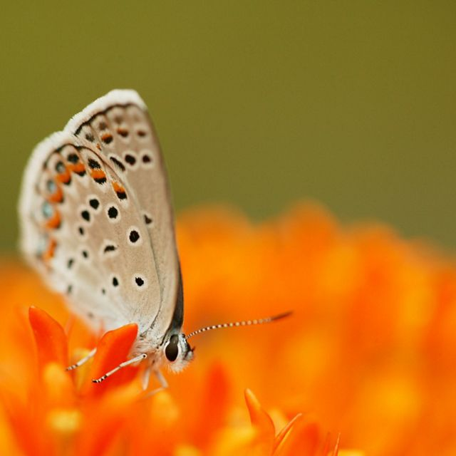 Pale gray butterfly with small black spots and swoops of orange along the edge of the wing, sitting on an orange flower.