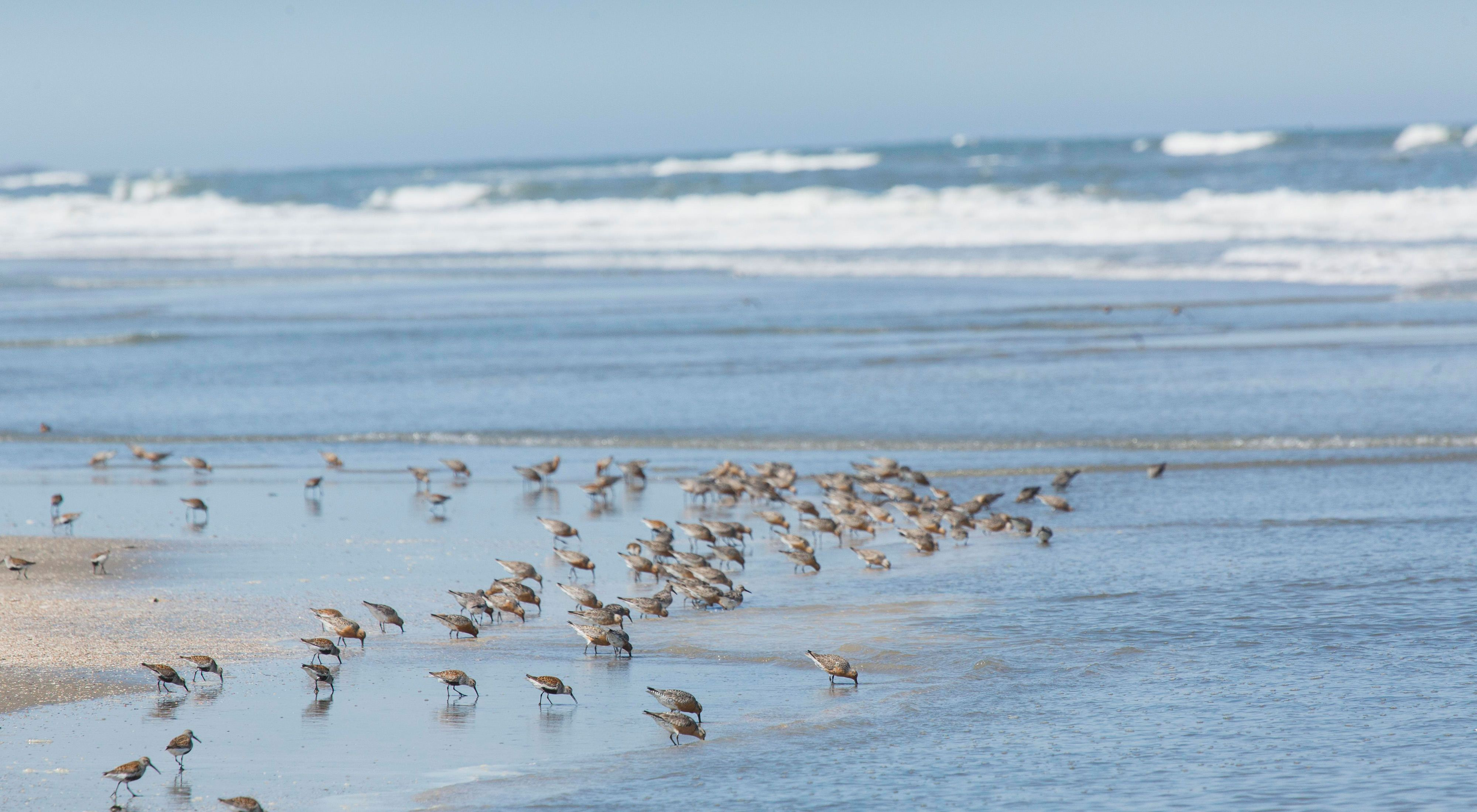 Red knots feeding along the shore of Hog Island, Virginia Coast Reserve.