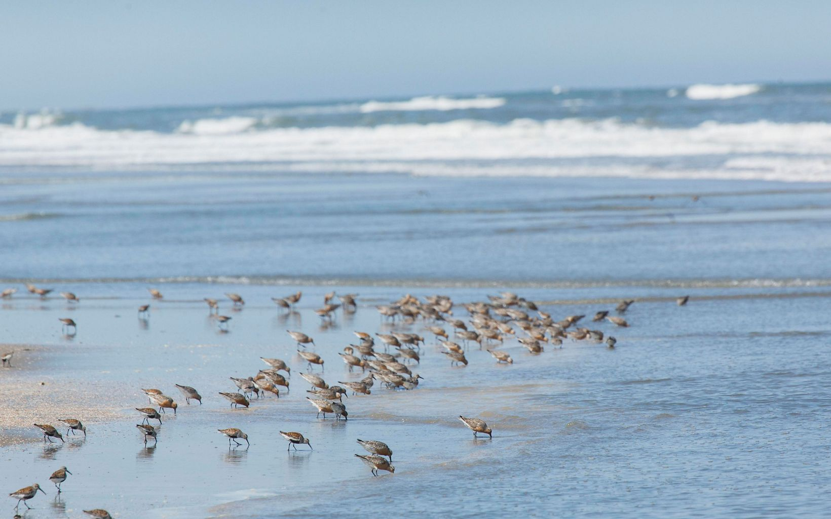 a flock of shorebirds on the beach