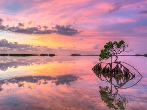 Lone mangrove at sunset in Florida Keys.