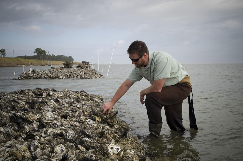A man inspects oysters on a restored oyster reef on the Alabama coast.
