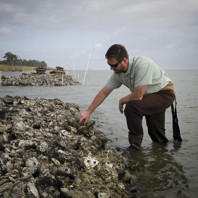 Oysters growing on artificial reefs along the Alabama coastline.