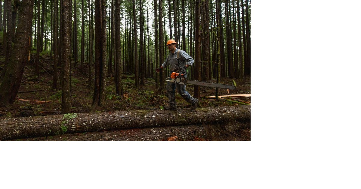 TNC is working with Willapa National Wildlife Refuge to preserve old-growth forests, including thinning young trees to create space for the remaining trees to grow into giants