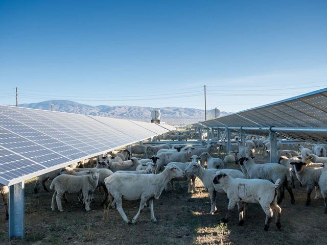 Sheep used for weed and grass management grazing at the Fuller Star solar project in Lancaster, California.