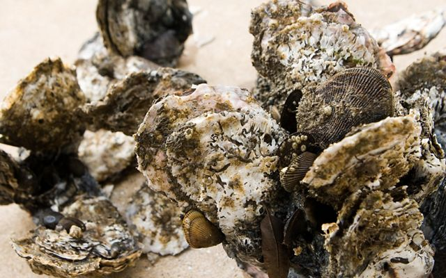 A cluster of oysters (Crassostrea virginica)