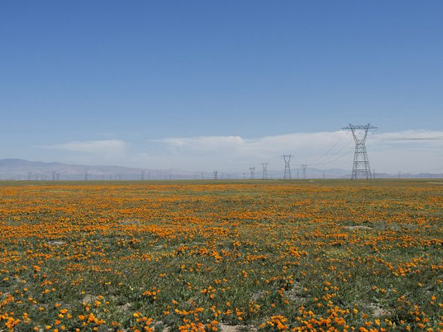 A field of orange poppies in bloom at Antelope Valley,