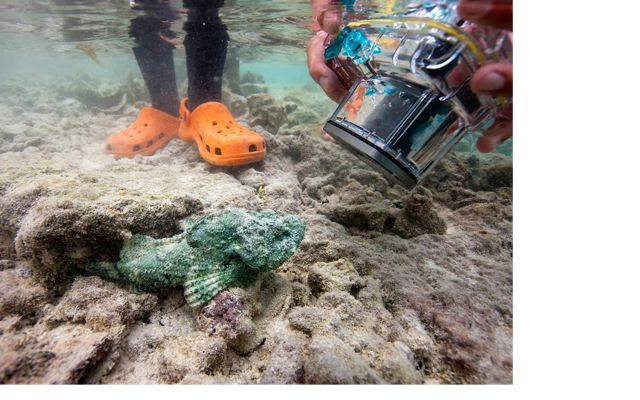 A stonefish blends with the rocky bottom of a lagoon as someone snaps a photo