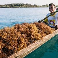 Seaweed harvesting in farms off the coast of Placencia Village, Belize.