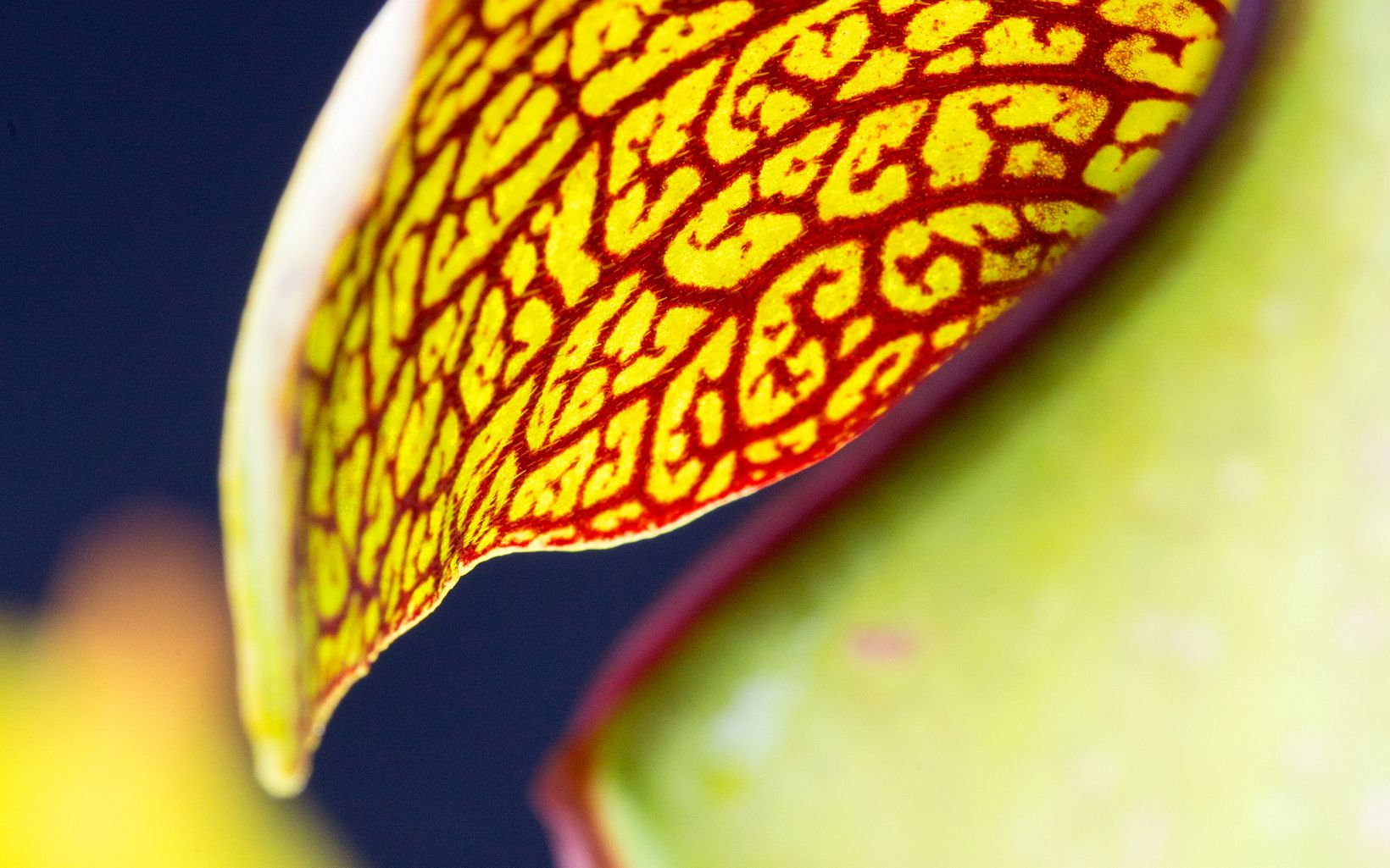 Extreme closeup of a pitcher plant pitcher with red lines on a green background.