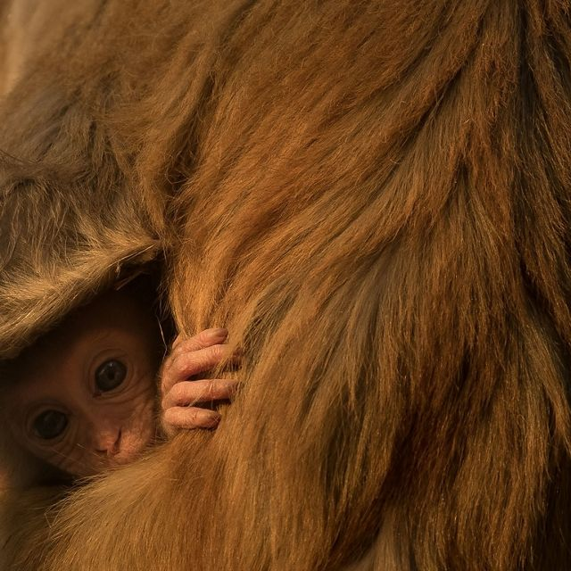 A baby rhesus macaque hides in his mother's fur, Corbett National Park, India.