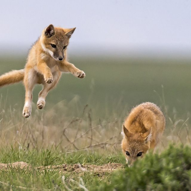 Young foxes play on a grassland.