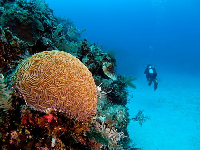 A diver swims past a healthy coral reef