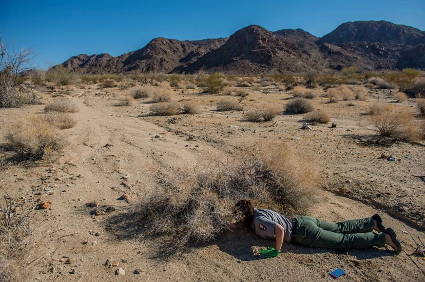 A researcher lays flat on the ground in Joshua Tree and reaches under a pile of dry brush to place a transmitter on a desert tortoise.
