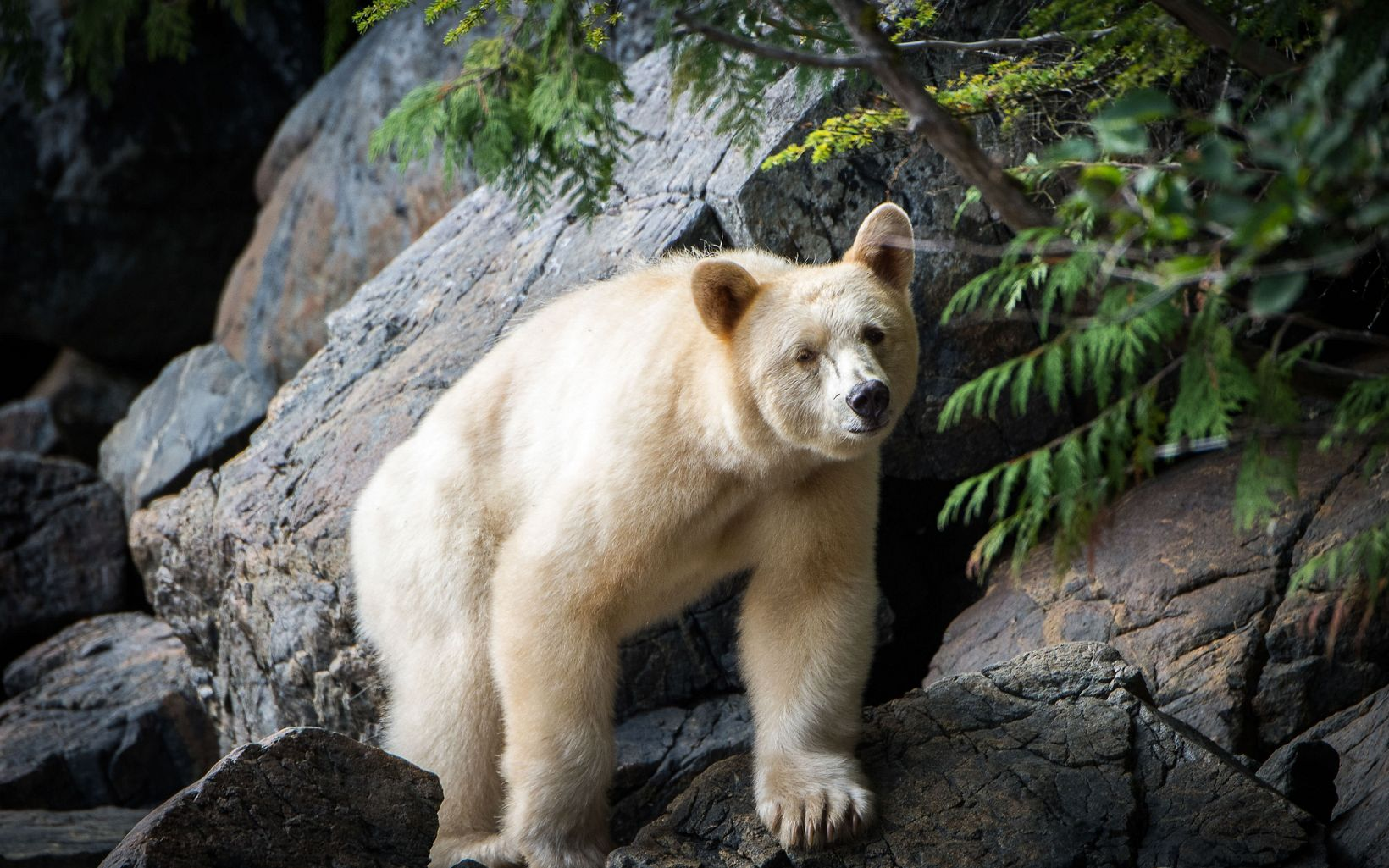 Kermode Bear in the Great Bear Rainforest in British Columbia.