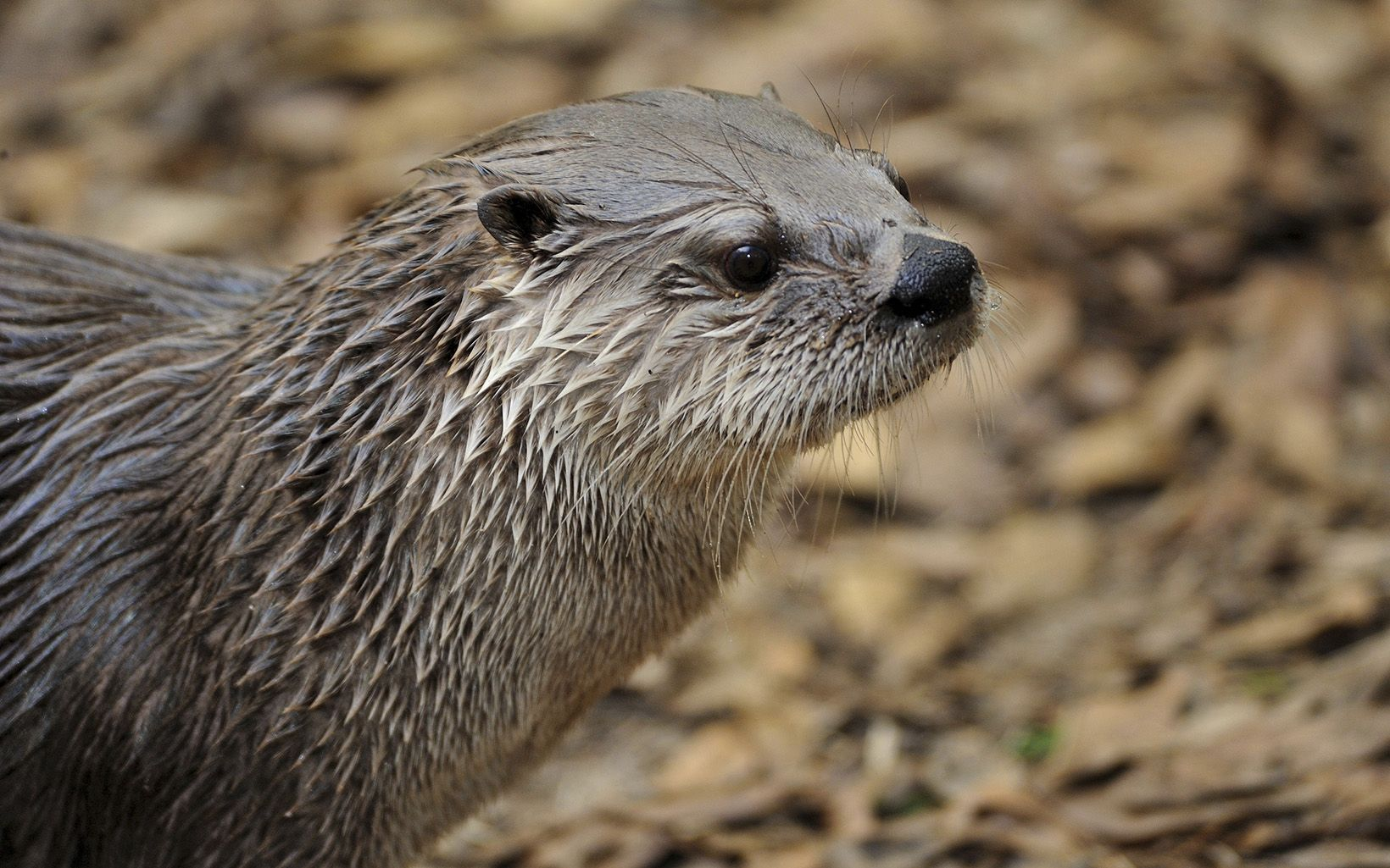Once considered common on many rivers in the Northern Great Plains, river otters are now returning to parts of southern Minnesota and eastern North Dakota and South Dakota.