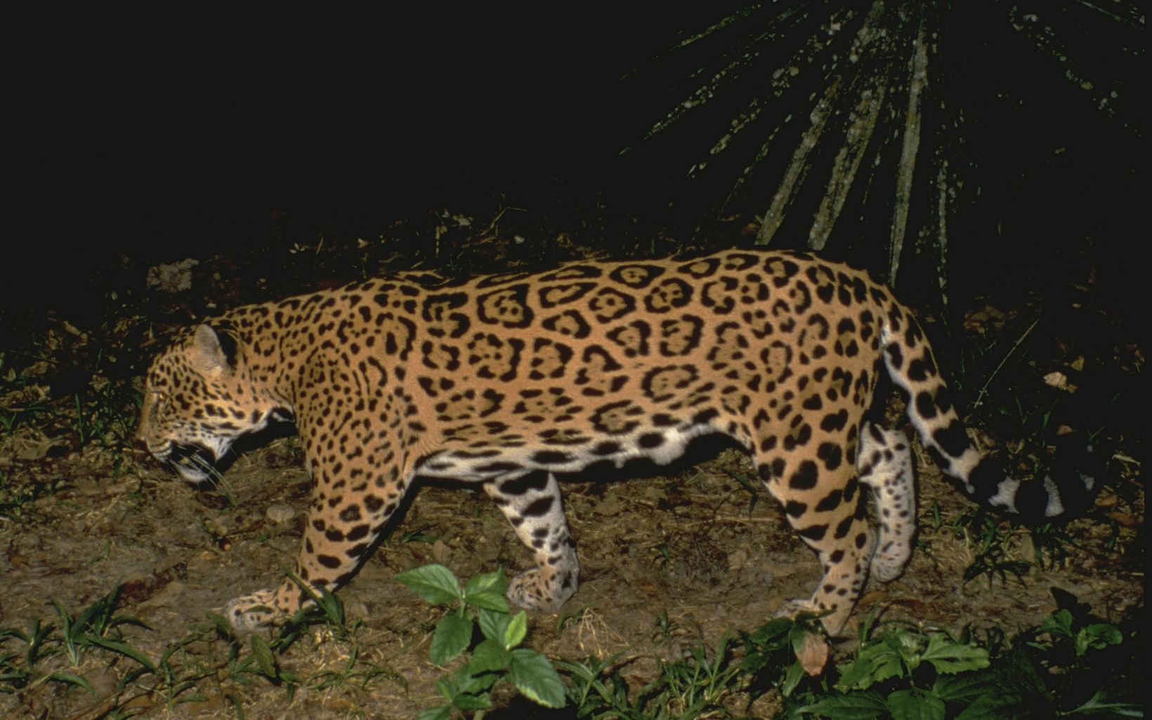 Jaguar at Belize Zoo in Belize, Central America.