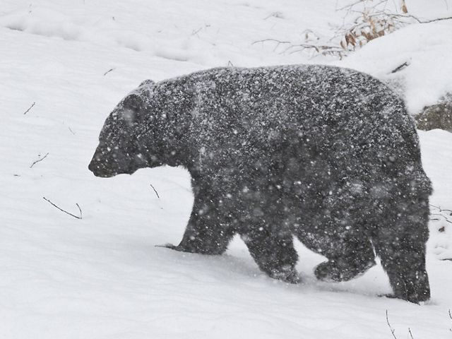 A black bear walking in a snowstorm.