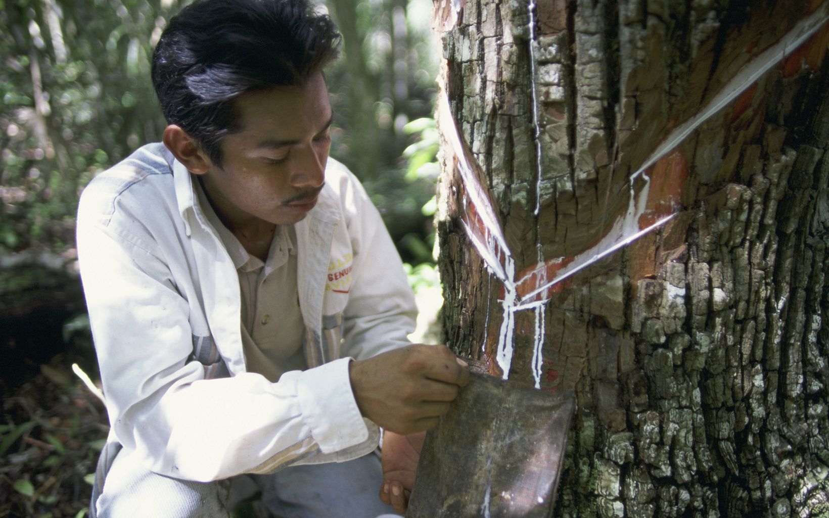 taps sap from a gum tree in the Maya forest along the edge of Mexico's Calakmul Biosphere Reserve.