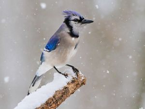 Blue Jays are known for their intelligence and complex social systems with tight family bonds.