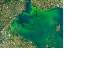 On September 26, 2017, the Operational Land Imager (OLI) on the Landsat 8 satellite captured these natural-color images of a large phytoplankton bloom in western Lake Erie.