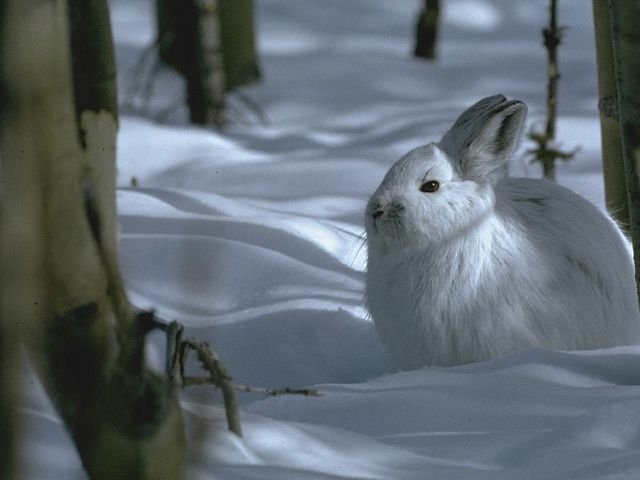 A white hare sitting in white snow.