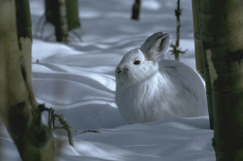 A white rabbit rests among snow and trees.