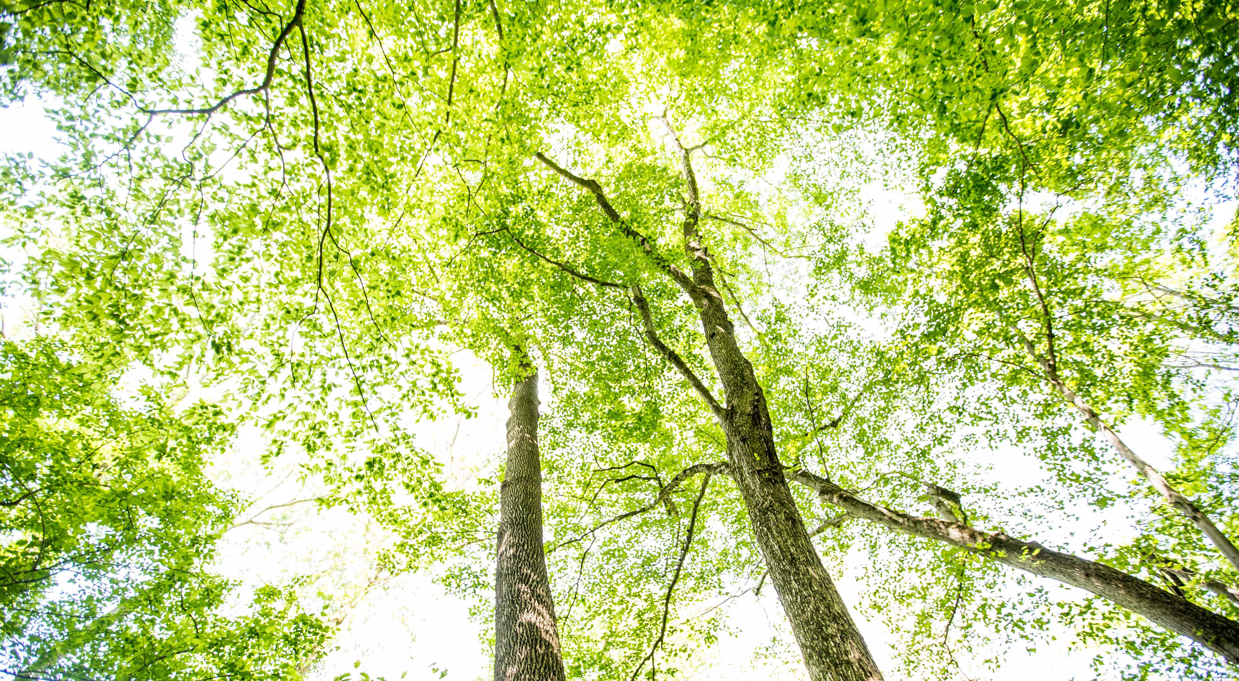 Looking up from the ground through a tree canopy of spring green leaves.