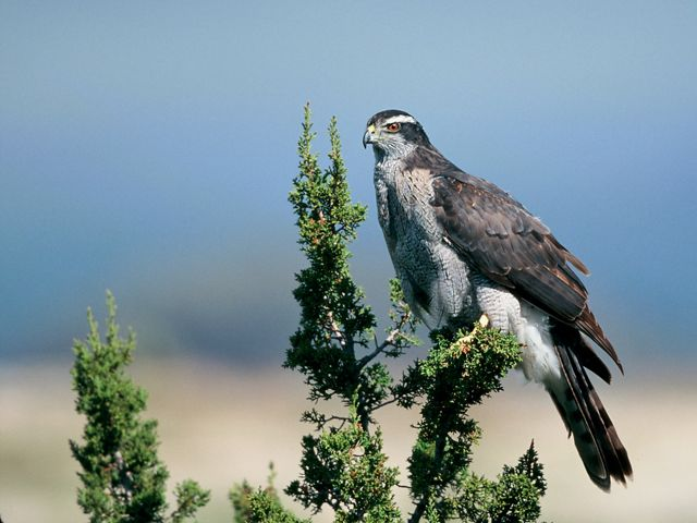 A hawk with gray chest feathers and a brown back sits atop a green shurb.