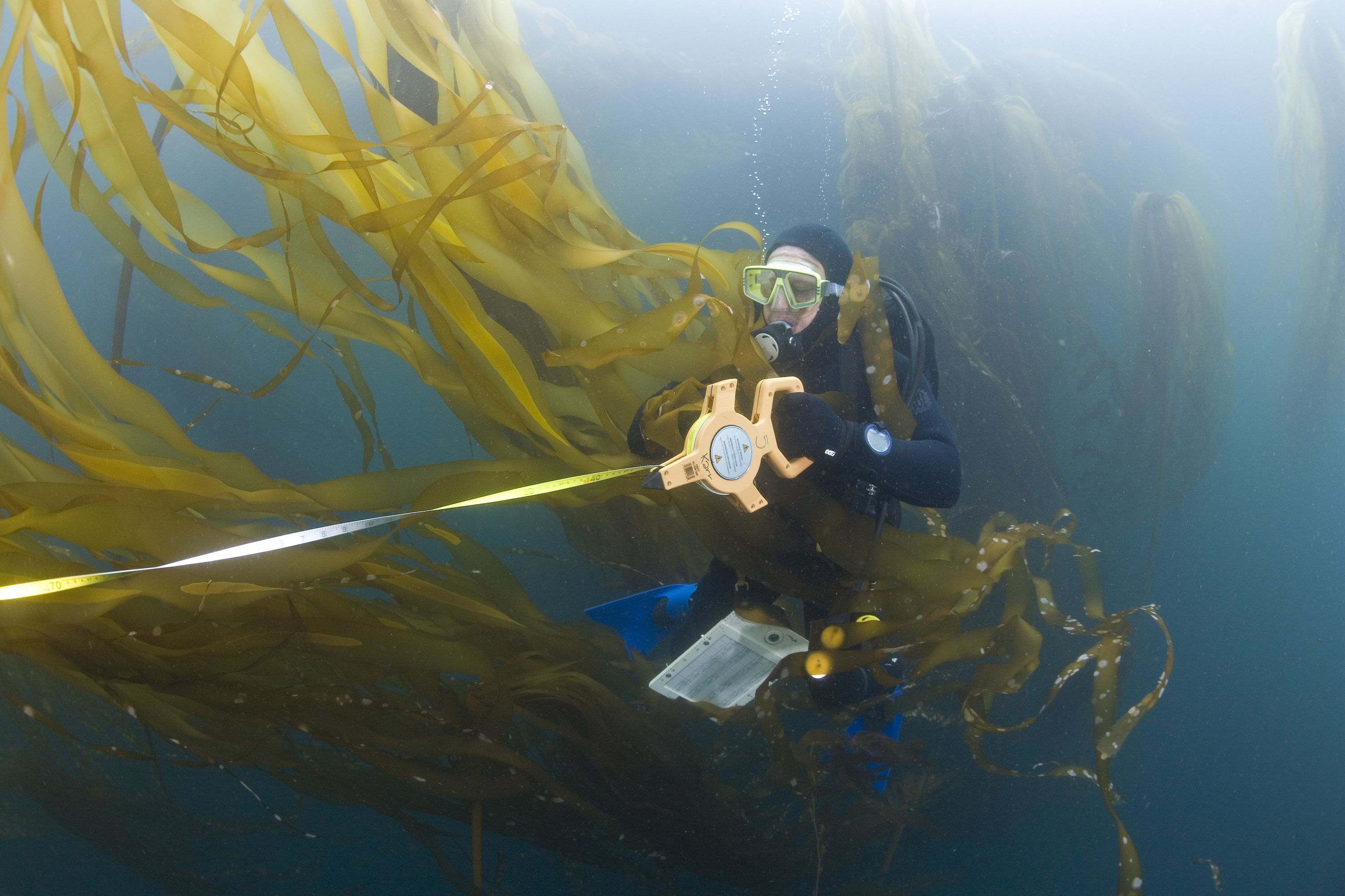 TNC biologist, Mike Beck, performs rockfish survey in upper canopy of mixed giant kelp and bull kelp off  California.