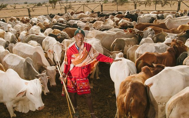 A herder watches over cattle at Lewa Wildlife Conservancy in Northern Kenya.