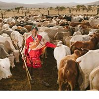 person surrounded by cattle