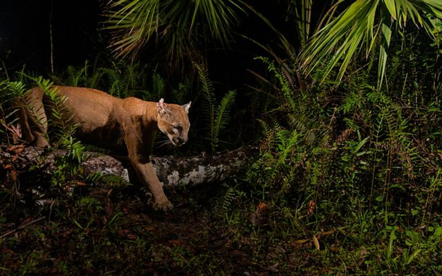 Camera trap image of a Florida panther (Puma concolor coryi) in the Florida Panther National Wildlife Refuge and on a trail leading into the upper Fakahatchee Strand State Preserve. The Nature Conservancy works to protect land in Florida by partnering with private landowners and state government entities to help preserve wildlife habitat and to help support wildlife corridors.