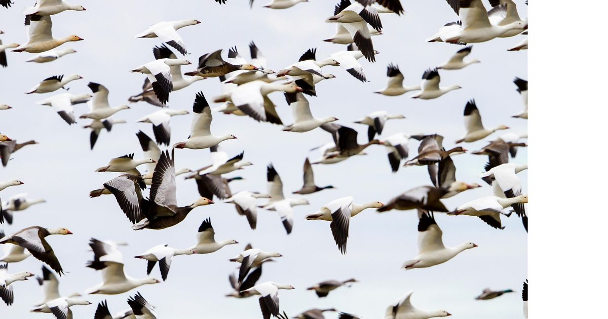 A flock of geese fly above the preserve